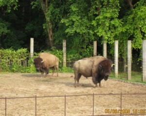 June 12, 2007 Buffalo 2 shot facing camera